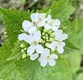 Alliaria petiolata 123786548.jpg