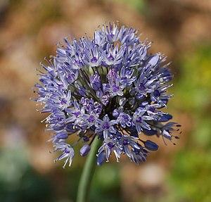 Allium caeruleum - Image: Allium caeruleum Blue Flower Head 1813px