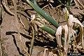 Allium cepa with Erwinia carotovora subsp. carotovora (13).jpg