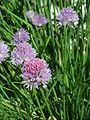 Allium schoenoprasum1.jpg