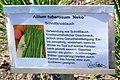 Allium tuberosum Neko.jpg