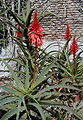 Aloe arborescens HRM.jpg