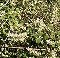 Aloysia wrightii 6.jpg