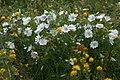 Alpenblumen, Hebelhof, Feldberg - geo.hlipp.de - 23535.jpg