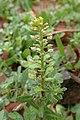 Alyssum simplex kz10.jpg