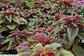 Amaranthus tricolor Illumination 2zz.jpg