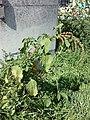 Amaranthus viridis sl5.jpg