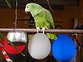 Amazona ochrocephala -Panama -pet-8.jpg