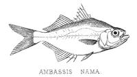 AmbassisNamaBeavan