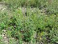 Ambrosia artemisiifolia 03340.jpg
