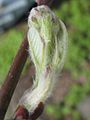 Amelanchier alnifolia 'Smoky' 1.jpg
