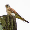 American Kestrel on the lookout.jpg