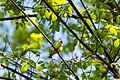 American goldfinch (26483892947).jpg
