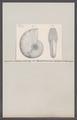 Ammonites lingulatus nudus - - Print - Iconographia Zoologica - Special Collections University of Amsterdam - UBAINV0274 091 01 0065.tif