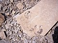 Amonites en la Payunia - panoramio.jpg