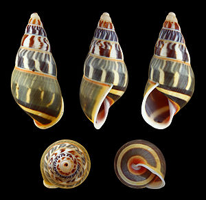 Amphidromus - Amphidromus everetti shell is brightly colored, a feature which is typical of arboreal snails in general.