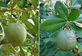Amphitecna latifolia, Black Calabash fruit..jpg