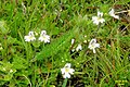 An eyebright (Gru) (31124176944).jpg
