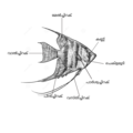 Anatomia pterophyllum in malabarica.png