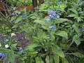 AnchusaSempervirens-plant-hr.jpg