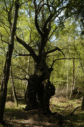 Silvopasture - Image: Ancient pollard oak in western Berkshire's Aldermaston court's derelict wood pasture or park, April 2017