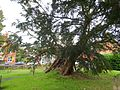 Ancient yew Rotherfield TP55.jpg