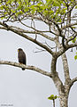 Andaman serpent eagle.jpg