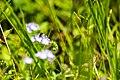 Andrena sp. (26914067607).jpg