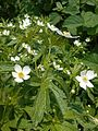 Anemone canadensis 2017-05-23 0464.jpg