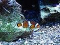 Anemonen- oder Clownfisch.jpg