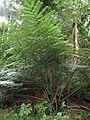 Angiopteris evecta in Lyon Arboretum.jpg