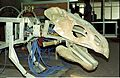 Ankylosaurus in Progress - Dinosaurs Alive Exhibition - NCSM - Calcutta 1995 446.JPG