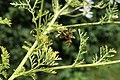 Anthemis cotula leaf (04).jpg