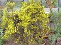 Anthyllis hermanniae2.jpg