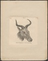 Antilopa tora - kop - 1879 - Print - Iconographia Zoologica - Special Collections University of Amsterdam - UBA01 IZ21400039.tif