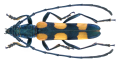 Anubis hexasticus (Fairmaire, 1887) Male (34595342675).png