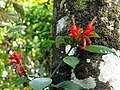 Aphelandra scabra Costa Rica 1.jpg