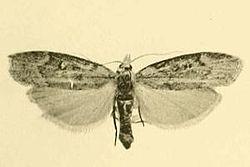 Aphomia curvicostella.JPG