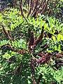 Apis mellifera su Amorpha fruticosa (Città metropolitana di Bari).jpg