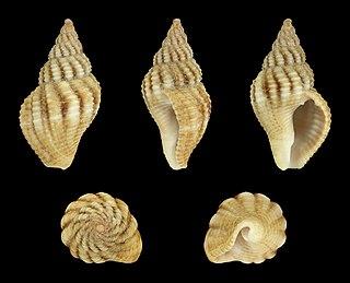 <i>Aplus assimilis</i> Species of gastropod