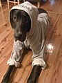Apollo Great Dane.jpg