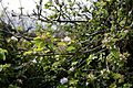 Apple blossom at Cliftonville Margate Kent England.jpg