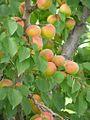 Apricots (4224426304).jpg