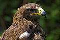 Aquila rapax -Libertys Owl Raptor and Reptile Centre, Hampshire, England -head-8a.jpg