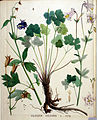 Aquilegia vulgaris — Flora Batava — Volume v20.jpg