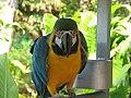 Ara ararauna -front of Macaw.jpg