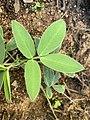 Arachis paraguarensis 7584.jpg