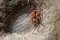 Araneidae (19497082266).jpg