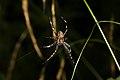 Araneus diadematus (36435881931).jpg