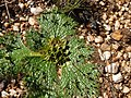 Arctopus monacanthus Gifberg 04.jpg